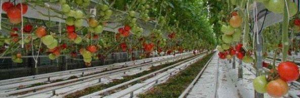 tomato-greenhouse_610